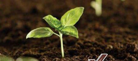 bả cà phê trồng cây
