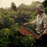 Thiếu hụt cà phê tồi tệ nhất trong 9 năm