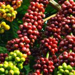 Hạn hán đe dọa mất mùa cà phê