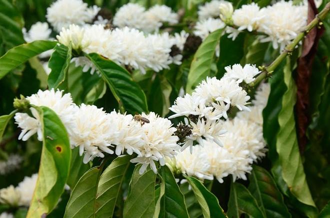 Sẽ là thiếu sót nếu không nhắc đến mùi hương của hoa cà phê, hương thơm thoang thoảng, tinh khiết. Không chỉ quyến rũ trái tim du khách mà bầy ong cũng phải bay về hút nhụy tạo ra thứ mật ong hoa cà phê hảo hạng mà trên thị trường được rất nhiều người ưa chuộng.
