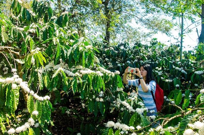 Khám phá sắc hoa cà phê như chính bạn đi tìm nét đặc trưng của vùng đất đỏ bazan.
