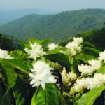 Sắc hoa cà phê đón xuân ở Gia Lai